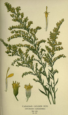 Illustration der Kanadischen Goldrute | Von Oceancetaceen - Alice Chodura - Step, E. & Watson, W. (1897) Favourite Flowers of Garden and Greenhouse. 2. Band. Frederick Warne & Co., London & New York. Tafel 127., Gemeinfrei, https://commons.wikimedia.org/w