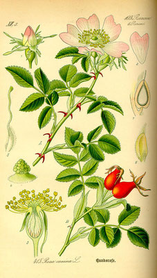 Illustration der Hunds-Rose (Rosa canina) | www.biolib.de