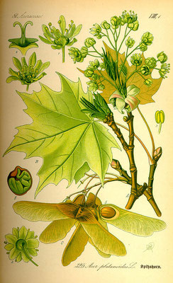 Illustration Spitz-Ahorn | www.biolib.de