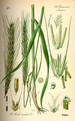 Illustration des Roggen | www.biolib.de