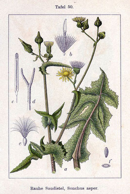 Illustration der Rauen Gänsedistel | By Johann Georg Sturm (Painter: Jacob Sturm) - Fig. 50 from book Deutschlands Flora in Abbildungen., Public Domain, https://commons.wikimedia.org/w/index.php?curid=764411