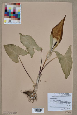 Gefleckter Aronstab - Herbarium | By Neuchâtel Herbarium, CC BY-SA 3.0, https://commons.wikimedia.org/w/index.php?curid=40754119