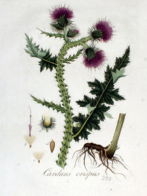 Illustration der Krausen Distel | www.biolib.de