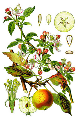 Illustration Holzapfel (Wildapfel) | CC BY-SA 3.0, https://commons.wikimedia.org/w/index.php?curid=454080