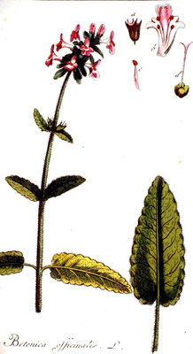 Illustration Heil-Ziest / Echte Betonie (Betonica officinalis)