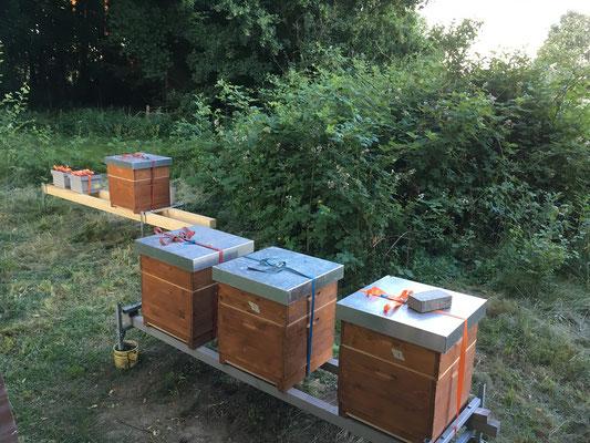 Meine Bienen - Stand Juni 2018 (mit neuen Mini-Plus)