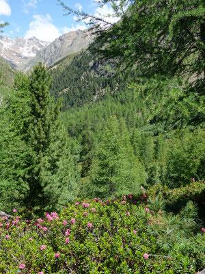 Die Alpenrosen blühen überall