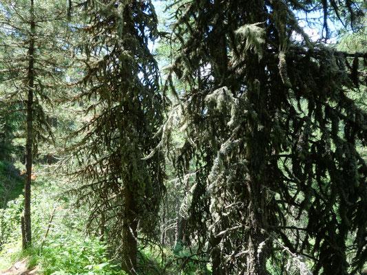Hier sieht man die Flechten welche die Bäume bedeckt haben