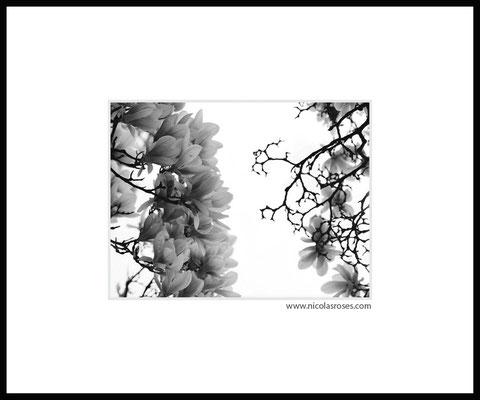 MAGNOLIAS     > Photo 25x33cm     Passe partout blanc 50x60cm > 400€ (cadre + 50€) Nicolas Rosès Photographe
