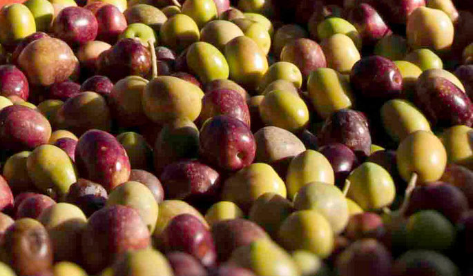 Olives vrac jour de la cueillette