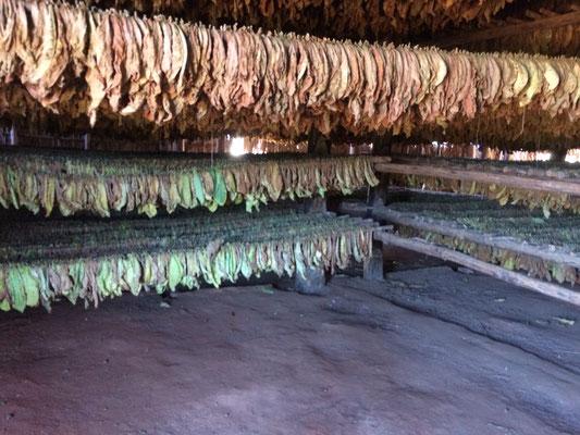 Trocknung des Tabaks in einer Zigarrenfabrik