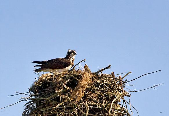Fischadler / der einzige Wildlife Adler...bis jetzt..;-))!!