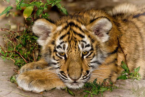 junger Tiger / Tiergarten Nürnberg