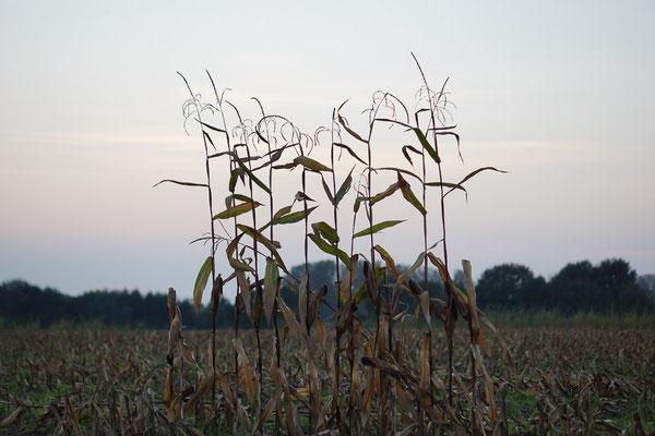Stehengebliebene Maispflanzen nach der Ernte.