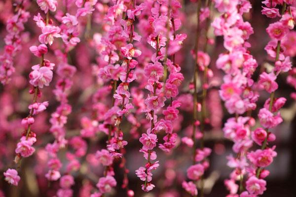 しだれ梅は8分咲.2/16 撮影