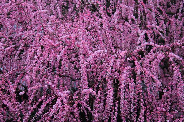 しだれ梅 は8分咲。2/13撮影