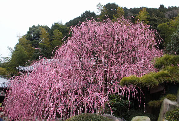 村上邸しだれ梅は2/22で8分咲3月8日まで楽しめます。