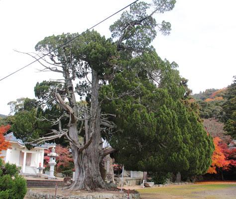 樹齢800年のイブキ