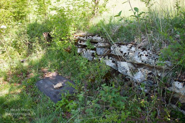Trockensteinmauer - mit Wellplatte zur Bestandeserhebung von Schlingnattern und anderen Reptilien.