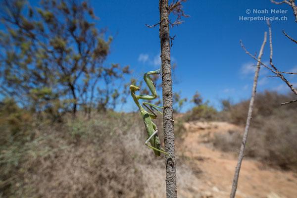 Mantis sp.