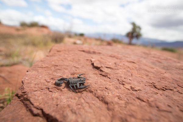 Skorpion (Androctonus sp.)