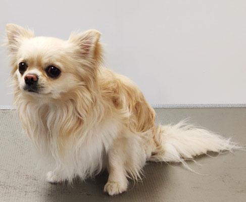 Chihuahua Lerry