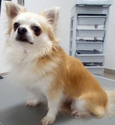 Chihuahua Snoogi