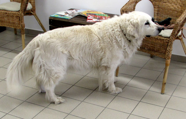 Golden Retriever Biggi