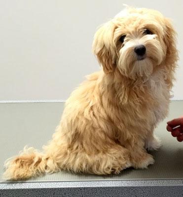 Bolonka-Welpe Gillou bei seinem ersten Besuch im Hundesalon...