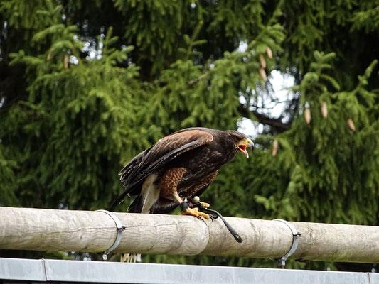 Greifvogelstation Hellenthal