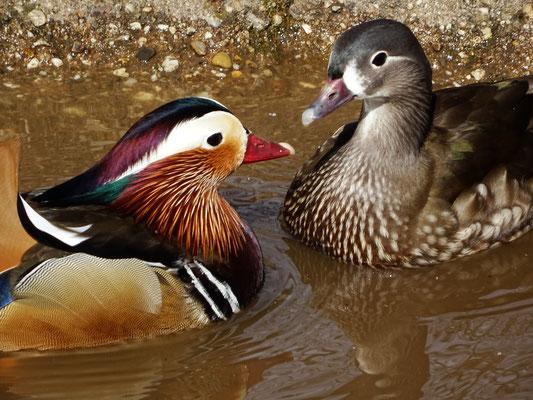 Mandarine Entenpaar