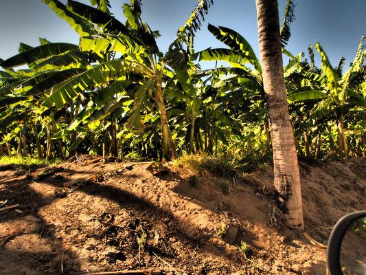 Palm forestq