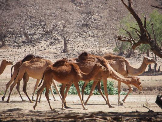 Camels in Salalah, Oman