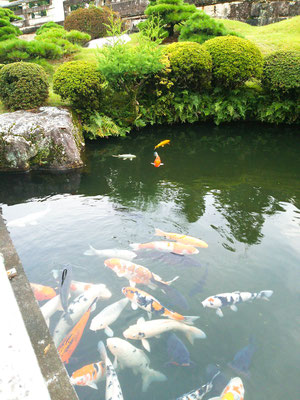 鯉たくさんいた。