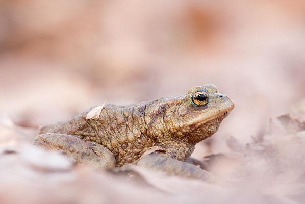 Erdkröte auf Wanderschaft (Bufo bufo)