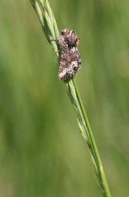 Gezähntes Halmeulchen (Oligia strigilis)