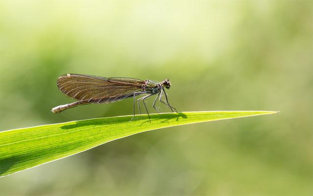 Blauflügel-Prachtlibelle (Caloptxrex virgo) Weibchen