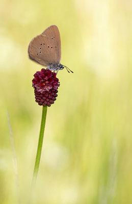 dunkler Wiesenknopf-Ameisenbläuling (Phengaris nausithos)