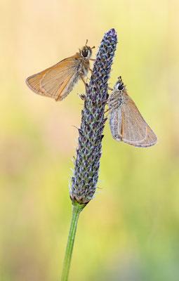 Dickkopffalter(Thymelicus sylvestris)