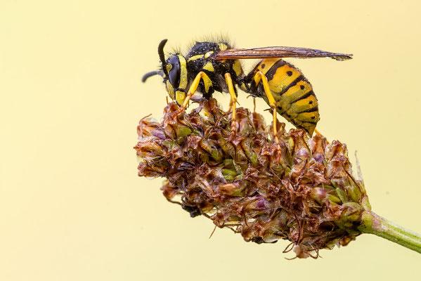 Wespe (Vespula vulgars)