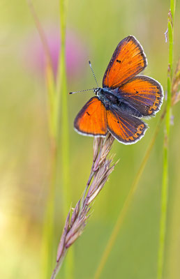 Lilagold-Feuerfalter ( Lycaena hippothoe)