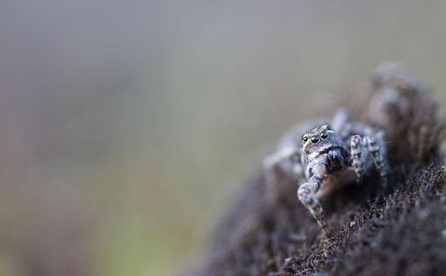 Springspinne (Aelurillus v-insignitus)