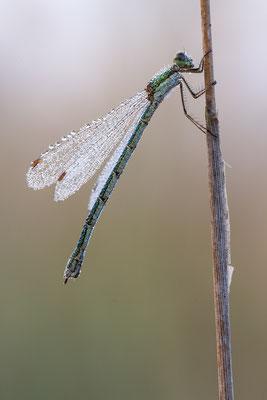 Gemeine Binsenjungfer (Lestes sposa)