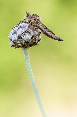 Raubfliege (Machimus rusticus)