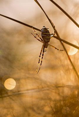 Wespenspinne (Agripoe bruennichi)