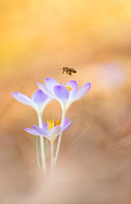 Honigbiene (Apis)