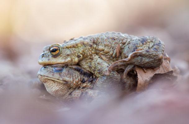 Erdkröten vor der Paarung ( Bufo bufo )