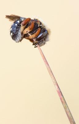 punktierte Wollbiene ( Anthidium punctatum)
