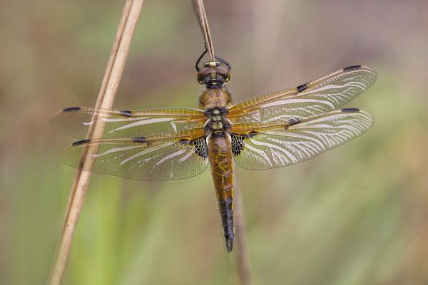 Vierflecklibelle (Libelulla quadrimaculata)
