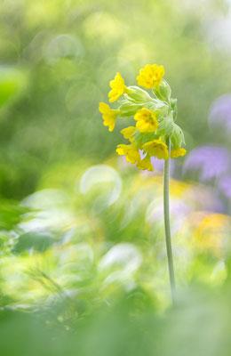Wiesenschlüsselblume (Primula veris)